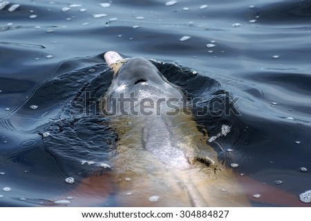 AMAZONIAN DOLPHIN SWIMMING AND BREATH ON WATER SURFACE