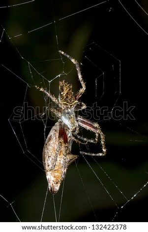 Amazonian orb-web spider eating a large cockroach at night, Ecuador