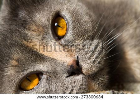 Amber tea yellow eyes cat breed Scottish Fold close-up. Cat smoky gray color blue - stock photo