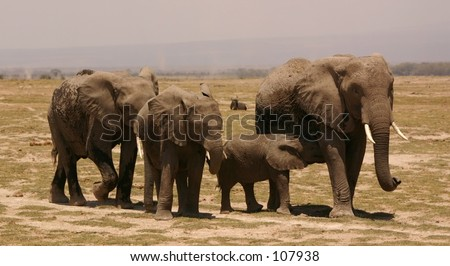 Amboseli ellis 5,04 - stock photo