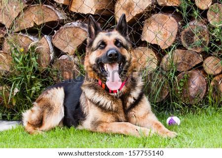Ambra german shepherd - stock photo