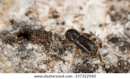 Ambrosia beetle, Xyleborus cryptographus on aspen wood - stock photo