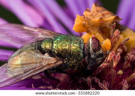 Ambush bug is using its long mouthparts to eat a bright green fly on an aster flower - stock photo