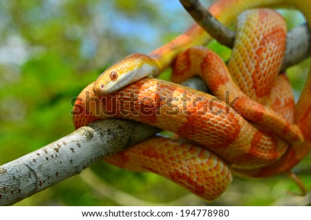Amel Motley Corn Snake wrapped around a branch - stock photo