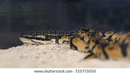 Amel Motley Corn Snake wrapped around a branch - stock photo