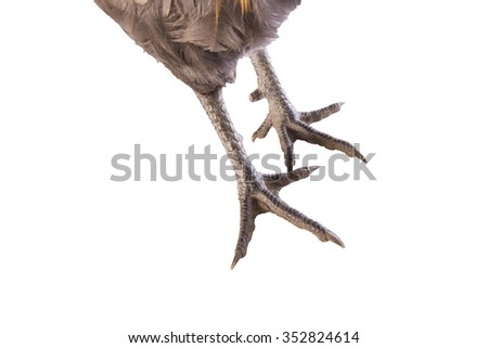 Ameraucana Rooster black chicken feet  on white background