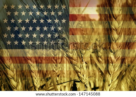 American agriculture concept and farming in the USA with the flag of America on a growing wheat grain field ready for harvest as a symbol of food production and commodity trading from local farms. - stock photo