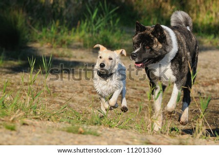 American Akita Dog - stock photo