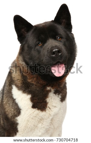 American Akita dog close-up portrait isolated on white background