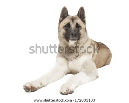 American Akita on a white background in studio