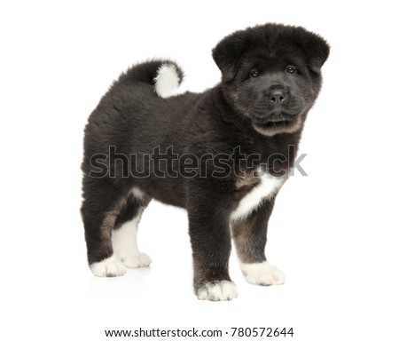 American Akita puppy in stand on white background. Baby animal theme