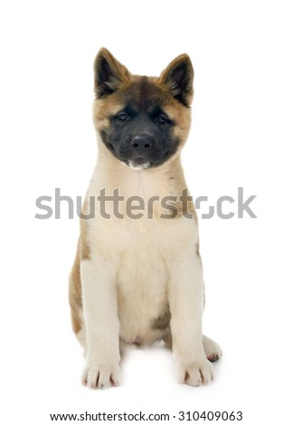 American Akita puppy sits, isolated on white background