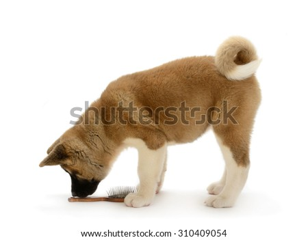 American Akita puppy stands with hair brush, isolated on white background