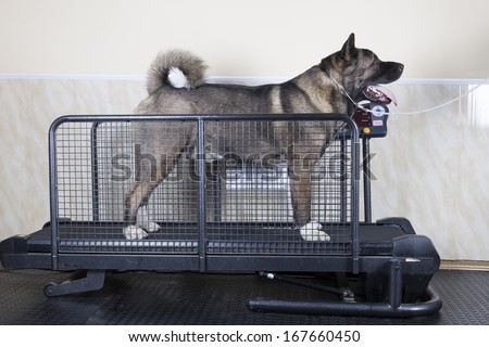 American Akita simulator - stock photo