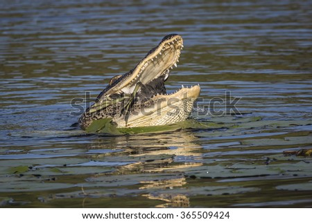 American Alligator (Alligator mississippiensis) eating an American Coot (Podilymbus podiceps) - stock photo