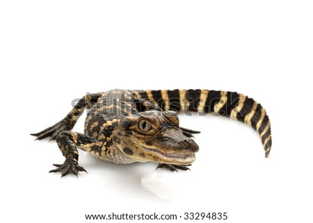 American alligator (Alligator mississippiensis) isolated on white background.