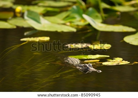American Alligator (Alligator mississippiensis) lurks in the water, looking for prey, in Everglades National Park, Florida - stock photo