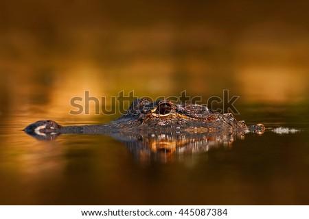 American Alligator, Alligator mississippiensis, NP Everglades, Florida, USA. Crocodile in the water. Crocodile head above water surface. Alligator with golden evening sun. Alligator in the nature. - stock photo