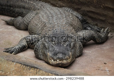 American alligator (Alligator mississippiensis). Wildlife animal.  - stock photo