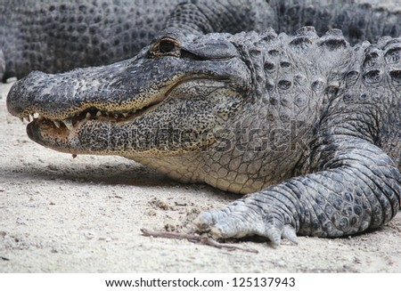 American Alligator at The Everglades National Park, Florida