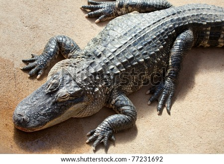 American alligator in ambush - stock photo
