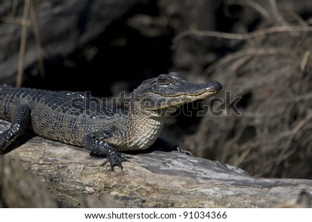 American Alligator in the bayous of New Orleans - stock photo