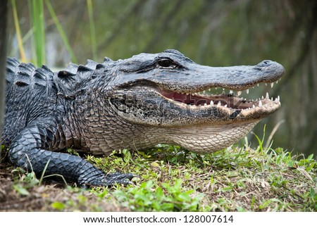 American Alligator in the Everglades National Park. Closeup of the big mouth and teeth. - stock photo
