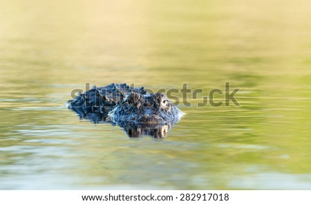 American alligator mostly submerged in the shallow water of a Florida wetland - stock photo