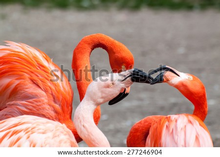 American and Chilean flamingo fighting