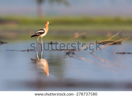 American Avocet in breeding plumage. Using different backgrounds the bird becomes more interesting and blends with the colors. These birds migrate to Mexico and can be found frequenting the swamplands