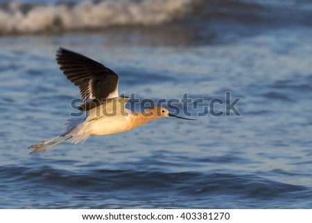 American Avocet (Recurvirostra americana) flying over the ocean, Galveston, Texas, USA. - stock photo