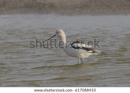 American Avocet Stock Images Royalty Free Images Vectors