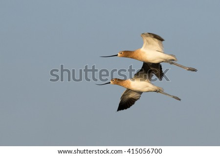 American Avocets (Recurvirostra americana) flying, Galveston, Texas, USA - stock photo
