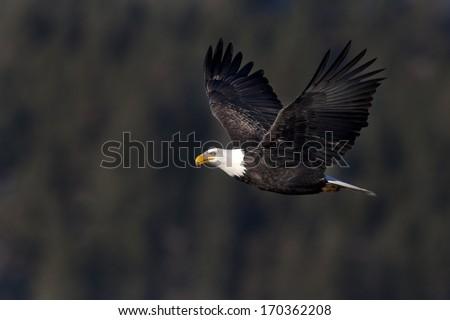 American bald eagle. - stock photo