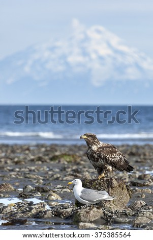 American Bald Eagle and seagull are  on a beach - stock photo