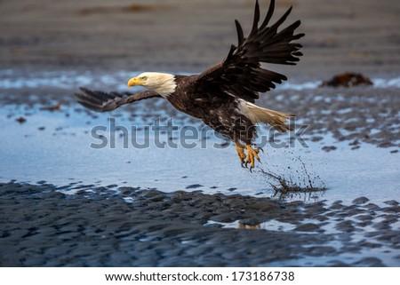 American Bald Eagle at Anchor Point, Homer Alaska - stock photo