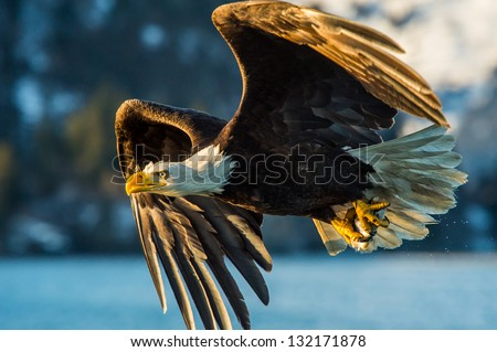 american bald eagle catching a fish in alaskan waters - stock photo