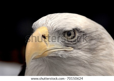 american bald eagle closeup - stock photo