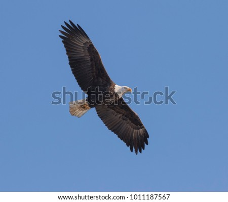 American Bald Eagle flying in blue sky