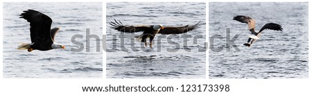 american bald eagle gliding looking for food mid december in idaho - stock photo