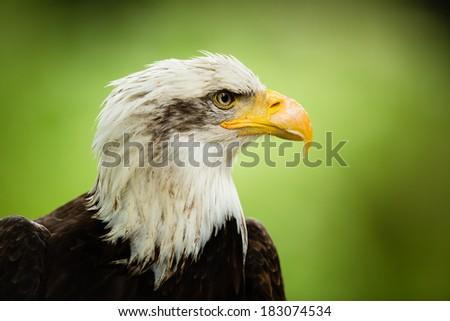 American bald eagle ((Haliaeetus leucocephalus) - stock photo