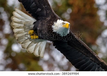 american bald eagle in flight against alaskan forest