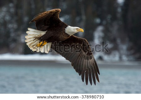american bald eagle in flight against alaskan forested mountainside