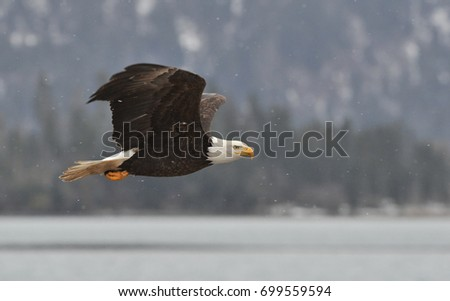 American bald eagle in flight against Alaskan Kenai region  coastal shoreline and Cook Inlet, with light snow