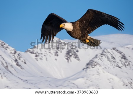 american bald eagle in flight against alaskan snow-covered mountainside