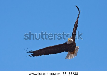 American Bald Eagle in Flight; Blue Sky on Background - stock photo