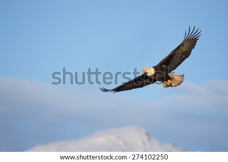 american bald eagle in flight over alaska's kenai peninsula mountains - stock photo