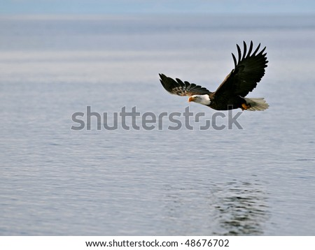american bald eagle in flight over alaska waters - stock photo