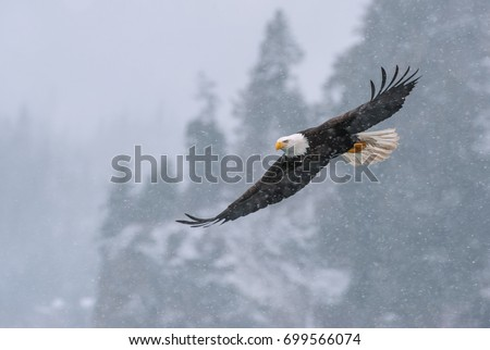 American bald eagle in flight over snowy Alaskan Kenai region cove off Cook Inlet with mountainous and forested shoreline for background