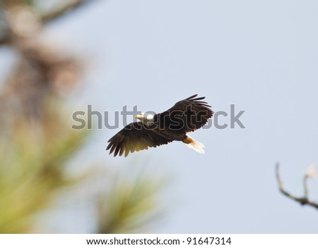 american bald eagle in flight wings extended flying over trees in northern idaho - stock photo